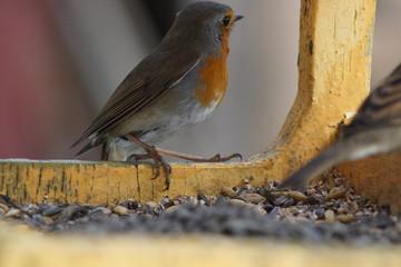 Fototapeta Ptak rudzik ,rudzik ,kolorowy ptak ,ptak w karmiku