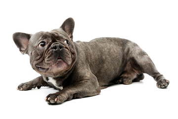 Studio shot of an adorable french bulldog