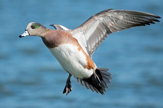Male American Wigeon Duck in Flight