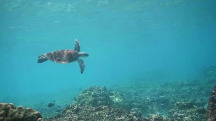 Wall Mural - Swimming with Hawksbill Sea Turtle (Eretmochelys imbricata), underwater 4k shot