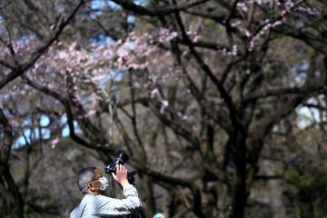 A visitor wearing a protective face mask takes photos to early flowering Kanzakura cherry blossoms  at Shinjuku Gyoen National Garden in Tokyo