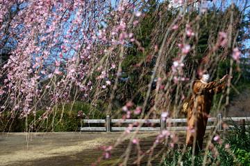 A visitor wearing a protective face mask takes photos of early flowering Kanzakura cherry blossoms  at Shinjuku Gyoen National Garden in Tokyo