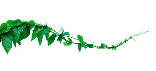 The vine with green leaves twisted separately on a white background. Fototapete