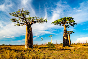 Printed roller blinds Baobab Beautiful Baobab trees at sunset at the avenue of the baobabs in Madagascar