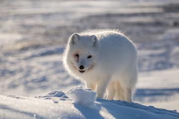 Lis polarn w zimowej szacie, południowy Spitsbergen