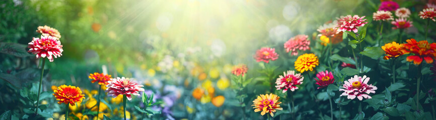 Colorful beautiful multicolored flowers Zínnia spring summer in Sunny garden in sunlight on nature outdoors. Ultra wide banner format. Fotobehang