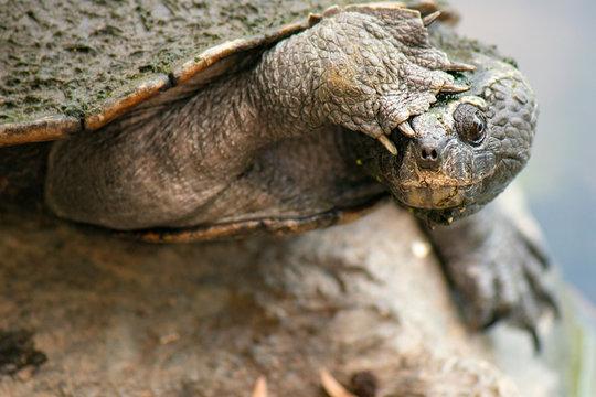 Western sawshelled turtle also known as Myuchelys bellii.