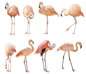 Foto op Canvas Flamingo isolated on white eight flamingo