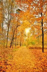 Garden Poster dark yellow maple leaves in sunny autumn forest