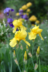 Yellow iris flowers in garden.  Sprint and summer plants.
