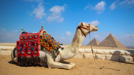 Pack animal camel lies on the sand close-up against the background of the Egyptian pyramids and bright blue sky