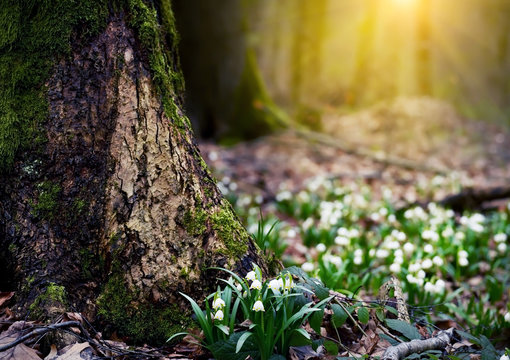 White-flowered flowers in a clearing in the forest. The first flowers are springtime. Leucojum vernum. Delicate primroses in the wild.