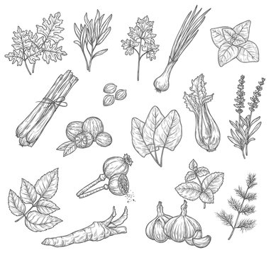 Herb and spice sketches, seasoning and condiments. Mint, rosemary and parsley leaves, garlic dill and cardamom, lavender and basil, onion, celery and nutmeg, sorrel, lemongrass and horseradish