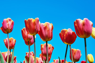 Red tulip flowers blooming in a tulip field against background of blue sky. Nature background