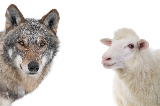 wolf and sheep portrait isolated on a white background.