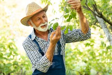 Senior farmer checking health of fruit tree