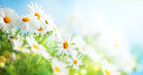 Photo sur Aluminium Marguerites Beautiful chamomile flowers in meadow. Spring or summer nature scene with blooming daisy in sun flares.