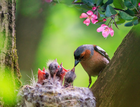 songbird male Finch feeds its hungry Chicks in a nest in a spring blooming garden