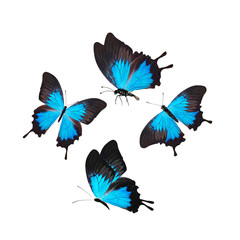 four blue with black butterflies isolated on white