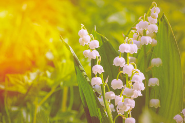 Fotorolgordijn Lelietje van dalen Lily of the valley. Sun rays fall on beautiful spring blooming flower. Flower Spring Sun White Green Background Horizontal. Ecological background Blooming lily of the valley.
