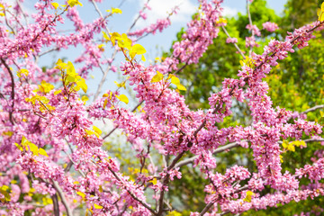 Wall Mural - Pink flowers at sunny day, Cercis siliquastrum in bloom