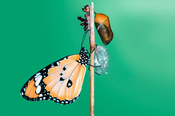 Foto op Plexiglas Vlinder Amazing moment ,Monarch Butterfly, pupae and cocoons are suspended. Concept transformation of Butterfly