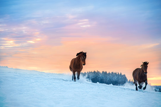 Two Westphalian horses run through deep snow. The snow splashes up. In the background is a forest. The sky is pink and orange, it's sunset in the Sauerland