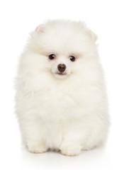 Wall Mural - Cute white Pomeranian puppy