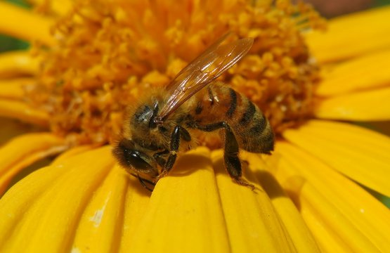 Bee on yellow flower closeup