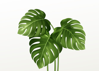 Realistic bright green leaves of monstera isolated on white background. Vector illustration