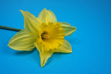 Door stickers Narcissus Daffodils / Narcis spring flower at blue background