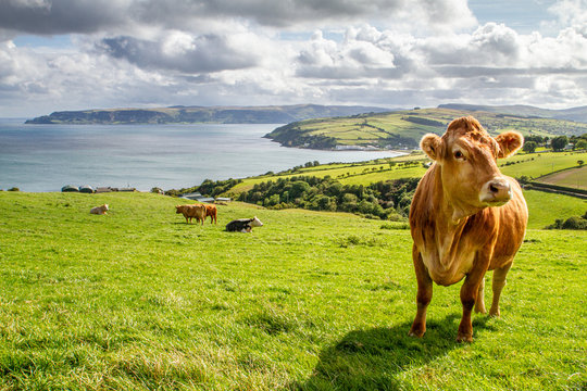 Irish cow with a beautiful countryside and the sea on the background