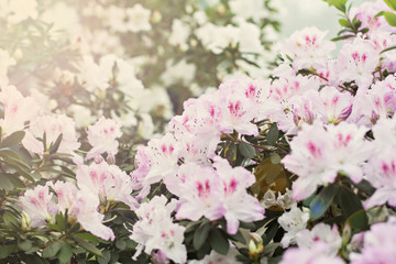 Foto op Canvas Azalea bush with pink blooming azalea