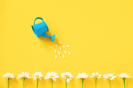 Watering white chamomiles from small blue watering can on yellow background. Creative concept of investment, growth, success in business and life or hello summer. Top view Flat lay