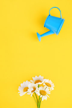Watering bouquet chamomiles from small blue watering can on yellow background. Creative concept of investment, growth, success in business and life or hello summer. Top view Flat lay