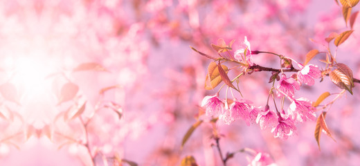 Spoed Fotobehang Kersenbloesem Pink cherry tree blossom flowers blooming in spring, easter time against a natural sunny blurred garden banner background of blue, yellow and white bokeh.