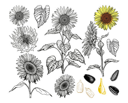 Sunflowers set. Black outlines hand-drawn with pen and ink. Graphic vintage drawing. Isolated on a white background vector elements for design.