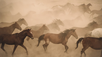 Horses running and kicking up dust. Yilki horses in Kayseri Turkey are wild horses with no owners