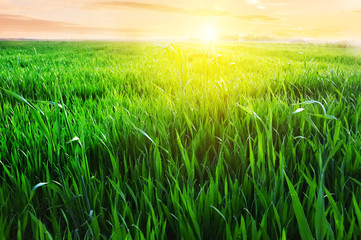 Autocollant pour porte Jaune Field with green grass in the dew and the sun at sunset on the horizon. Winter wheat crops in the dew at sunset. screen saver. Natural natural green herbal background.