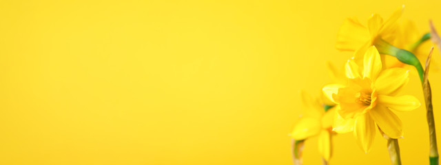 Yellow daffodil on yellow background. Conceptual banner with narcissus with copy space.