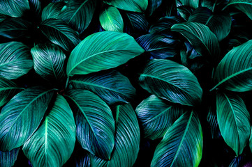 leaves of Spathiphyllum cannifolium, abstract green texture, nature background, tropical leaf Wall mural