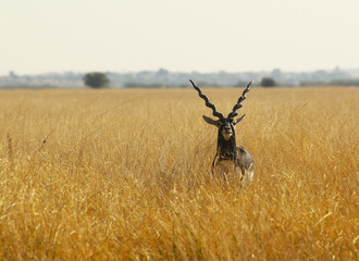 Foto op Canvas Antilope deer black buck