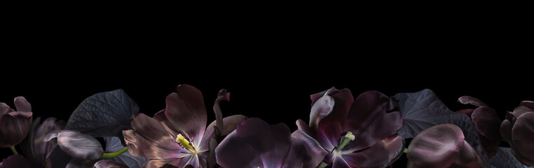 Foto auf Acrylglas Blumen Floral banner, header with copy space. Black tulips isolated on dark grey background. Natural flowers wallpaper or greeting card.