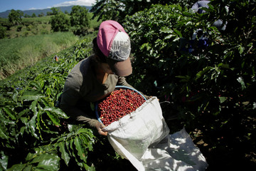 A worker puts freshly picked coffee cherries in a bag at a coffee plantation, in Grecia