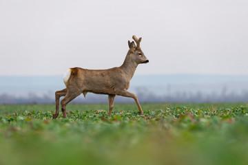 Curious roe deer standing in the field