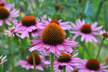 Bloom in nature echinacea purpurea