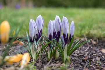 Printed roller blinds Crocuses Lila Krokus mit geschlossener Blüte im Garten vor weier Wiese
