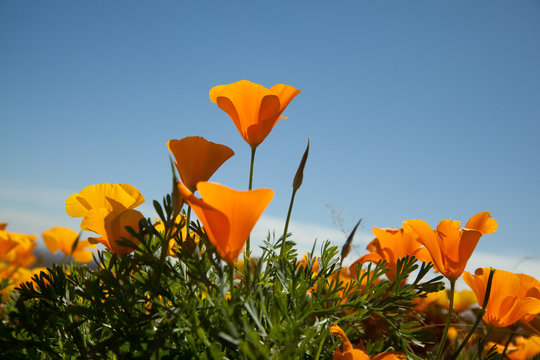 Golden Poppies backlit by sun