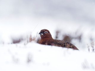 Fotoväggar - Red grouse, Lagopus lagopus scoticus,