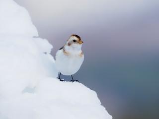 Fotoväggar - Snow bunting, Plectrophenax nivalis